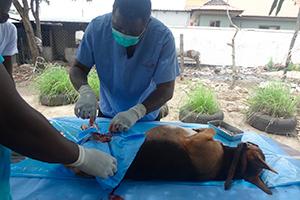 TAWESO dyrlæge under operation ved neustraliseringsklinik