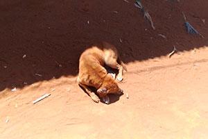 Sovende hund i Tanzania